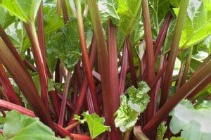 planter de la rhubarbe